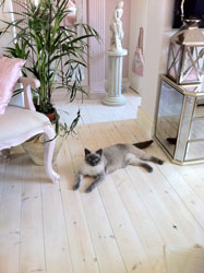 bedroom with bosie my beautiful lilac point British shorthair cat
